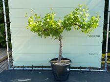 Weinrebe, vitis vinifera, alte knorrige Weinrebe, 150 cm, Stammumfang 18/20 cm