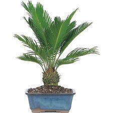 Indoor Palm Bonsai Tree Real Live Sago Plant Easy Hardy Exotic Cycas Revoluta