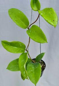 Hoya monettae splash [B26F01], 1 pot 20-22 inches