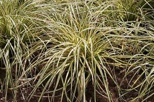 Carex oshimensis EverColor® 'Eversheen'   x  9cm Pot