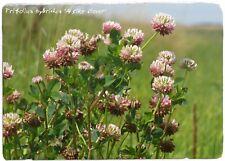 """Trifolium hybridum 'Trébol bastardo"""" 1000+ semillas"""