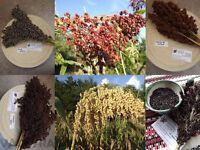 Farbige Mohrenhirse - Zuckerhirse - Sorghum 6 Sorten 150+ Samen - FREE SHIPPING