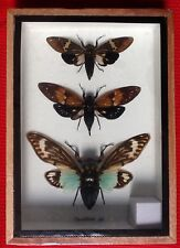 3 CICADICAE SP CICADA BEETLES TAXIDERMY BLUE BEETLE INSECT ENTOMOLOGY