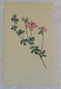 1811 COLOR Floral Print by Curtis/NEW-HOLLAND LOTUS, or, LOTUS AUSTRALIS
