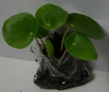 Chinese Money Plant (Pilea peperomioides) - Rare Small Bare Rooted Plant
