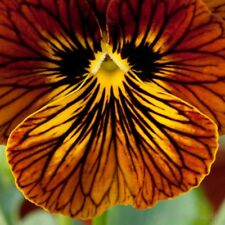 20+   VIOLA TIGER EYE, RED / 2018  NEW & IMPROVED / PANSY PERENNIAL FLOWER SEEDS