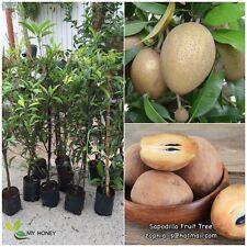 "Sapodilla fruit 1 Tree ""Manilkaro zapota L"" grafted plant + phyto""1 tree/Pack"""
