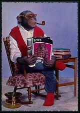 Election News Dressed Circus Chimpanzee Monkey Fantasy original 1950s postcard