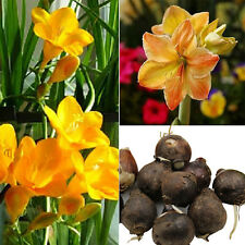 3Pcs/Bag Yellow Sunrise Amaryllis Hippeastrum Bulbs Seed Home Garden Decor