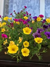 PETUNIA Kabloom Calibrachoa Series MIX SEEDS  21 QUALITY fresh Seeds