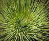 Hellgrüne, spitz zulaufende Blätter sind ein Markenzeichen der tollen Nana-Agave