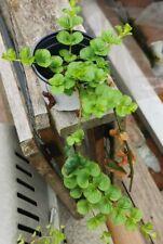 LARGE PLANT Creeping Jenny Marginal POND/Bog/ Water Plant/ HANGING BASKET/Yellow