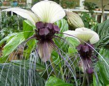 Tacca integrifolia  White Bat Flower  20_Seeds