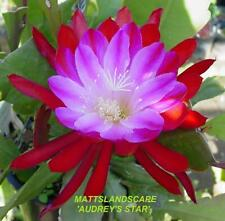 EPIPHYLLUM AUDREYS STAR (VERY FLORIFEROUS) ROOTED PLANT