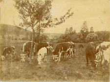 Etude de nature. Vaches au pâturage  Vintage citrate print.  Tirage citrate