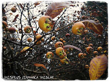 Mespilus germanica 'Medlar' 10+ SEEDS!