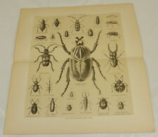 1877 Antique Print/COLEOPTERA BEETLES///b