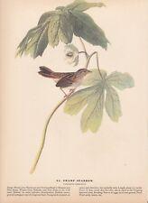 """1942 Vintage AUDUBON BIRDS #64 """"SWAMP SPARROW"""" Color Art Plate Lithograph"""