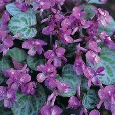 Viola koreana Syletta RARE variegated violet 10 seeds