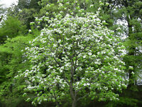 15 Flowering Dogwood seeds Cornus florida  Ornamental CombSH M65