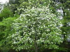 15 Flowering Dogwood seeds Cornus florida  Ornamental CombSH M65