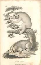 1800 Slow Lemur Engraved Mammal Plate - Shaw