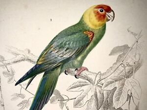 Edouard Travies [1809-1876] - Parrots - fine original hand colour