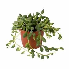Senecio herreanus  trailing succulent house plant in a 8cm pot