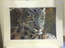 Carl Brenders - West of the Moon Snow Leopard - Mounted ( In Stock)