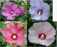 Hibiskus Eibisch 223 Samen versch.  Farben winterhart für Hecken oder Bäumchen