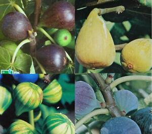 Ficus carica Feige Feigenbaum  Feigen in 4 Sorten große Früchte Obstbaum Obst