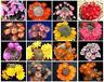 Rebutia variety MIX exotic flowering color cacti rare cactus aloe seed 25 SEEDS