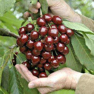 STELLA Dwarf Cherry ORGANIC SEEDS Fruit Tree for patios and pots 3 UK EU SEEDS
