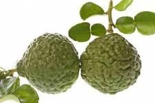 Kaffir Lime Citrus Tree Live Asian Fruit Plant 5 gallon Older Grafted 3-4' tall