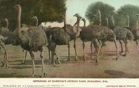 Pasadena California Cawstons Ostrich Farm Undivided 1909 Postcard