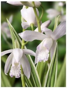 Bletilla Striata Alba Variegata Variegated White Hardy Ground Orchid 3 Bulbs USA