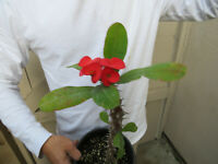 Euphorbia Milii Crown of Thorns Cactus - Large Blooms -B