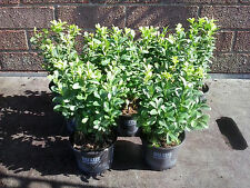 6 x Buxus Sempervirens Evergreen Box Hedging 9cm pot