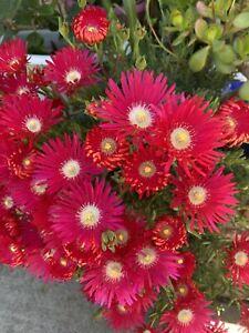 Stunnning  'Jewel Of Desert'  Ruby Ice Plant, Delosperma Coopers  X12 Cuttings