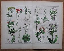 ca. 1890 OCTANDRIA DIGYNIA TRIGYNIA alter Druck Antique Print Botanik Pflanzen