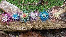 6 Tillandsia Ionantha ~ Rainbow Sampler  Air Plant Colorized  Live Event Resell