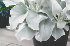 SENECIO CANDICANS  ANGELS WINGS .RARE NEW  foilage plant  ..9cms pot