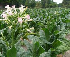 200 USDA Organic Virginia Smoking tobacco seeds Nicotiana tobaccum USA grown