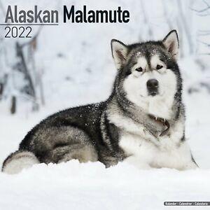 Alaskan Malamute Dog - 2022 Square Wall Calendar