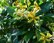 12 Samen Australische Frangipani - Hymenosporum flavum - Duft -Native Frangipani