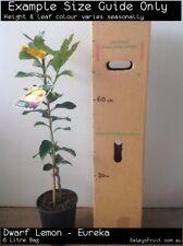 Dwarf Lemon - Eureka (Citrus limon) Fruit Tree Plant