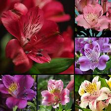 Inka Giglio * Alstroemeria * 25 semi/Seeds MIX * * ibridi * PERUVIAN Lily * GIGLIO