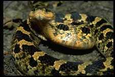 718081 le serpent hognose inoffensives peut étendre son cou comme un cobra A4 Photo prin