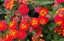 "Lantana ""Radiation""; red & orange; Flowering Plant Bush, LIVE POTTED"