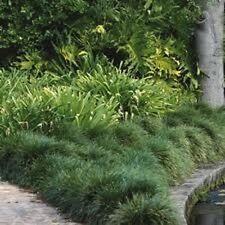 100x TALL MONDO GRASS Ophiopogon japonicas ornamental border plants in 75mm pots